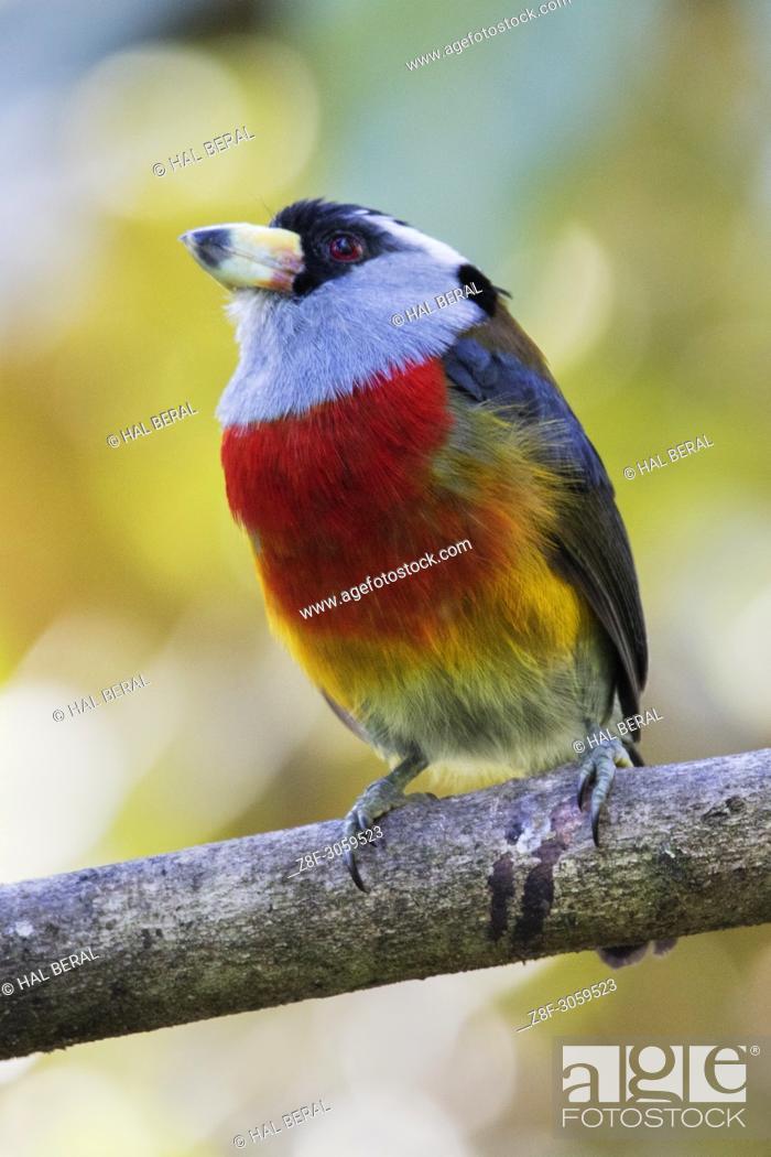 Stock Photo: Toucan Barbet (Semnomis ramphastinus). Ecuador.
