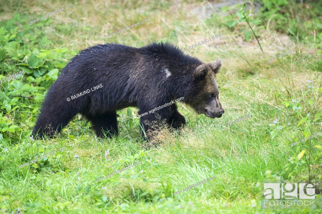 Photo de stock: European Brown Bears, Ursus arctos, Cub, Bavaria, Germany.