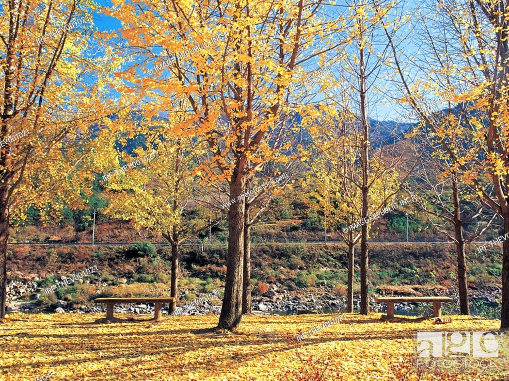 Stock Photo: gingko trees.