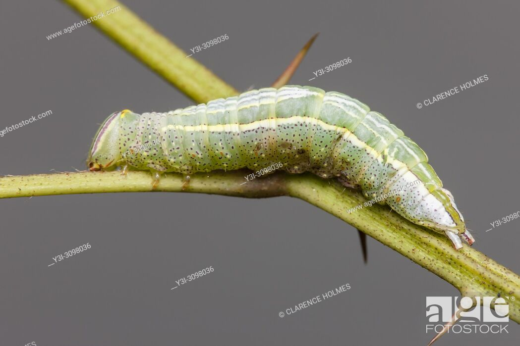 Imagen: Saddled Prominent (Heterocampa guttivitta) caterpillar (larva).
