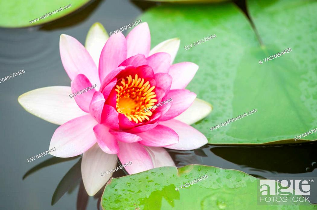 Stock Photo: Pink Lotus Flowers on the lake. rainy day.