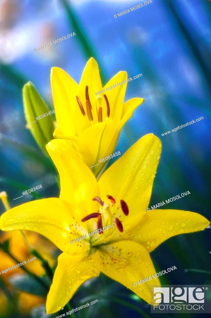 Stock Photo: Yellow Asiatic Lily. Lilium hybrid. June 2008, Maryland, USA.
