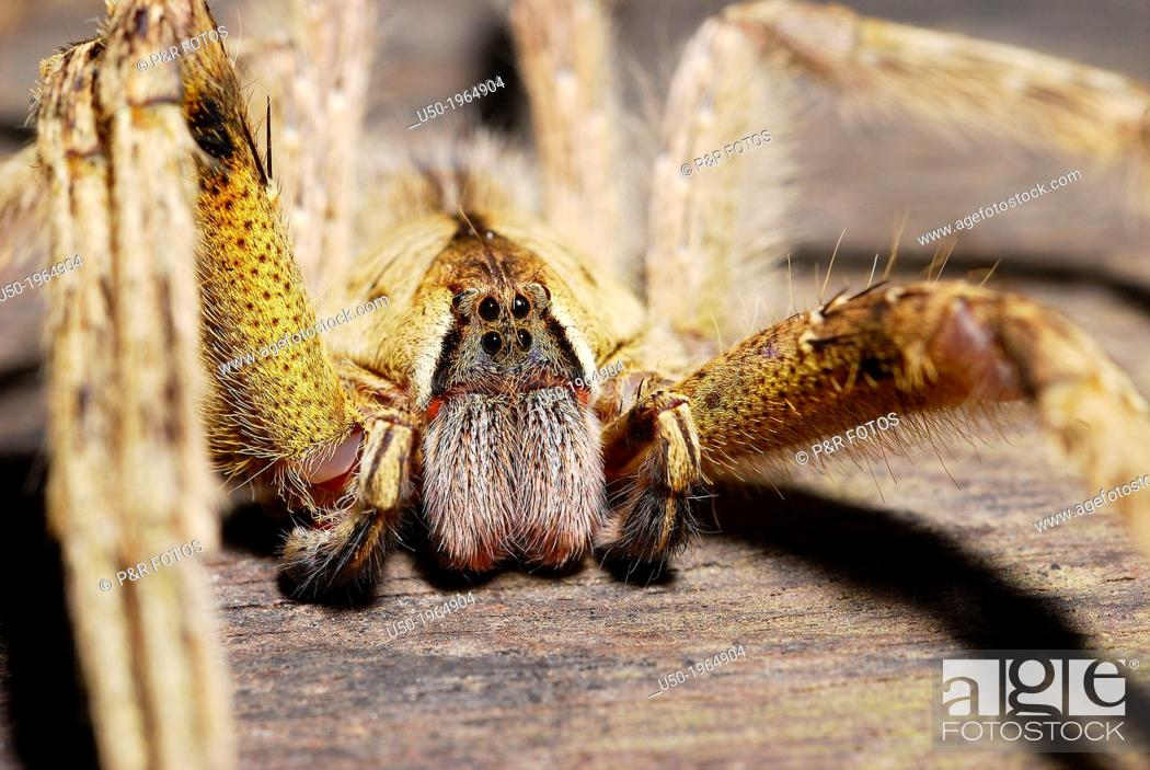 Stock Photo: Male Wandering Spider, Ctenidae, Araneida, Arachnida.