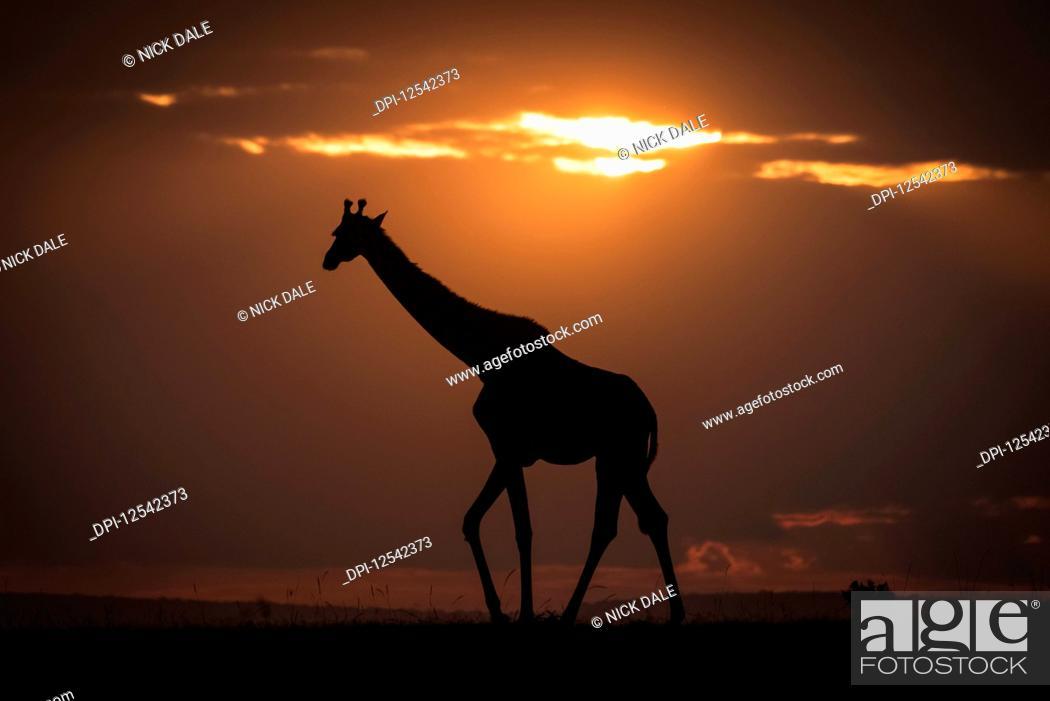 Stock Photo: Masai giraffe (Giraffa camelopardalis tippelskirchii) walks along horizon at sundown, Maasai Mara National Reserve; Kenya.