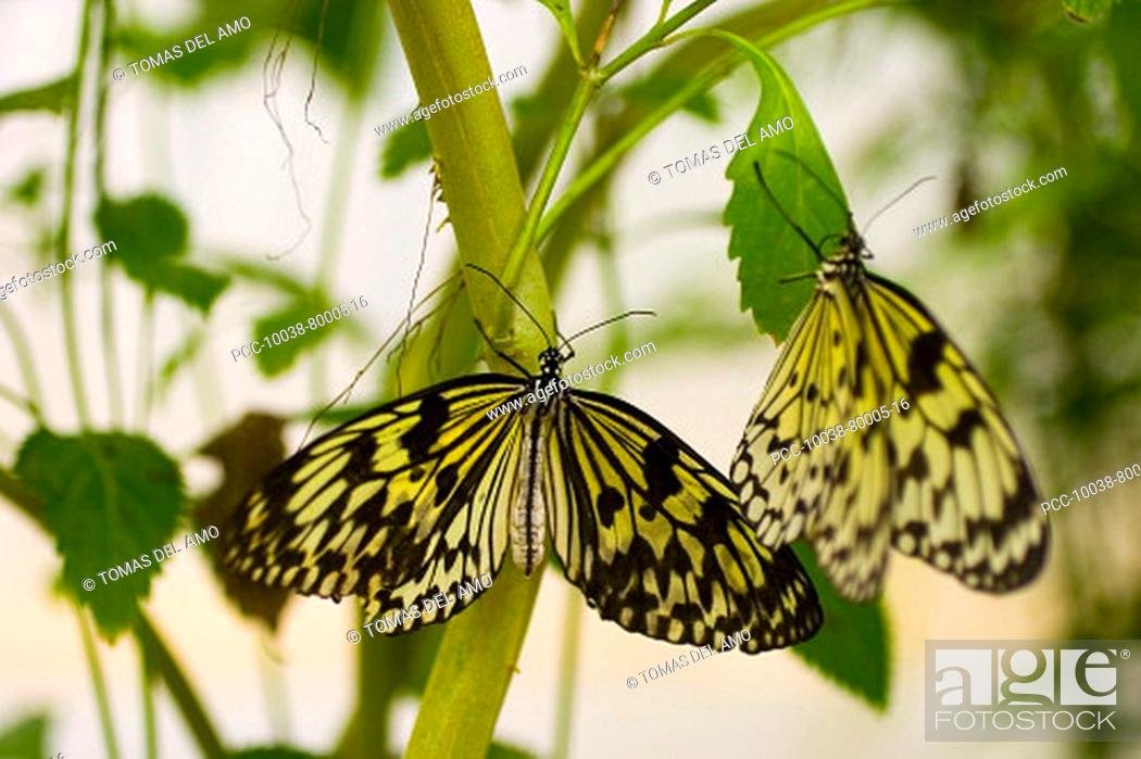 Stock Photo: Two beautiful yellow and black butterflies cling to a green plant.