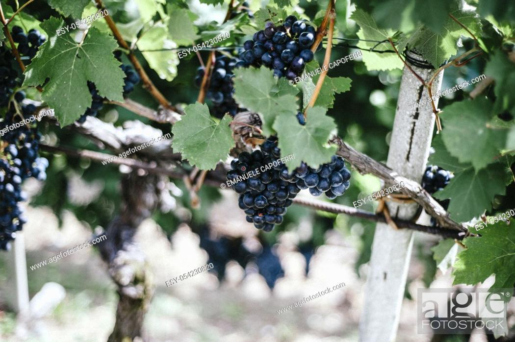 Stock Photo: Bunches of ripe red grapes.