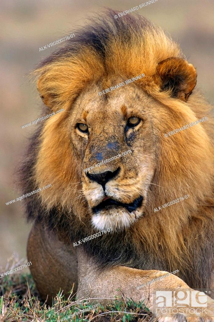 Stock Photo: Close up of Male Lion laying down Kenya Africa Summer.