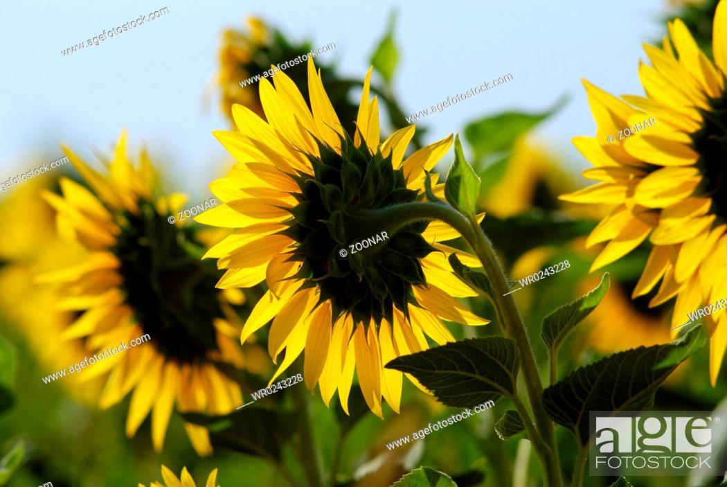 Stock Photo: yellow sunflower. summer nature.
