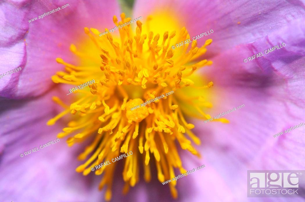 Stock Photo: Rockrose (Cistus albidus, fam. Cistaceae). Torrelles de Llobregat, Baix Llobregat, Barcelona, Catalonia, Spain.