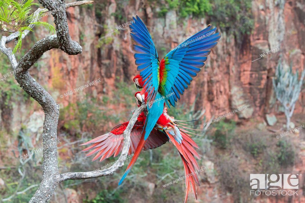 Imagen: Playful Red-and-green Macaws (Ara chloropterus), Buraco das Araras, Mato Grosso do Sul, Brazil.