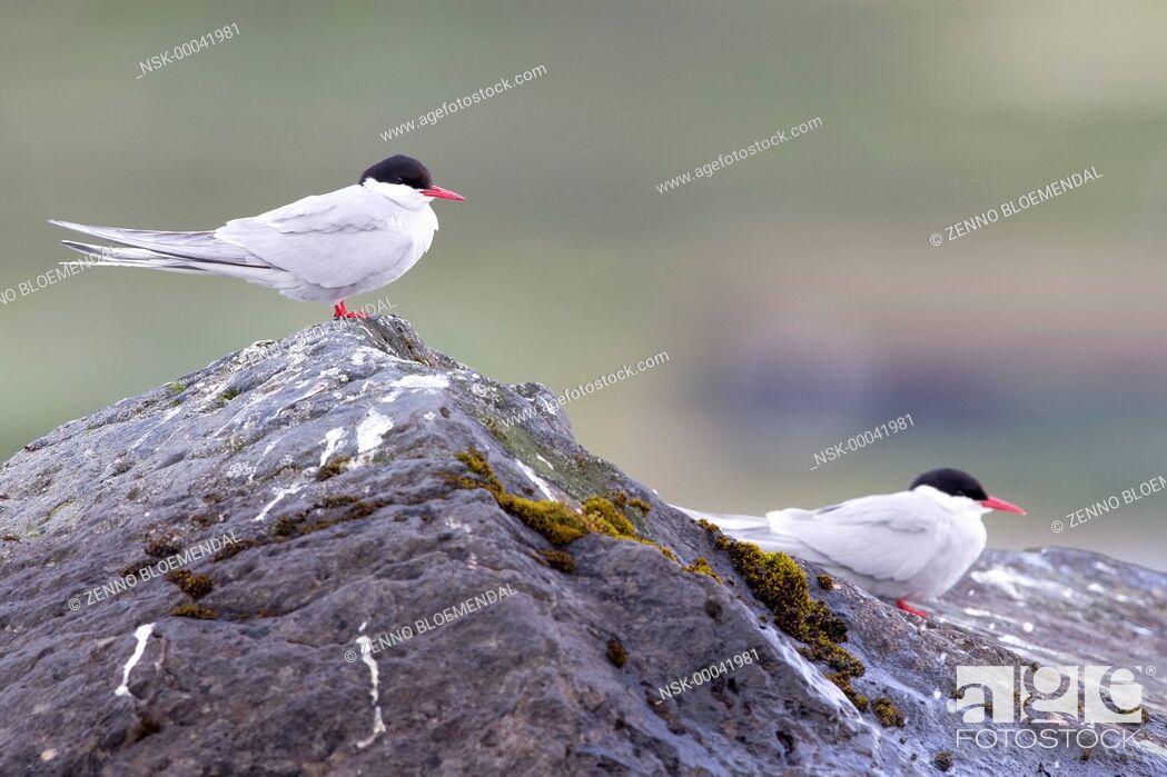 Imagen: Arctic Terns (Sterna paradisaea) pair sitting on rock, Norway, Sor Trondelag.