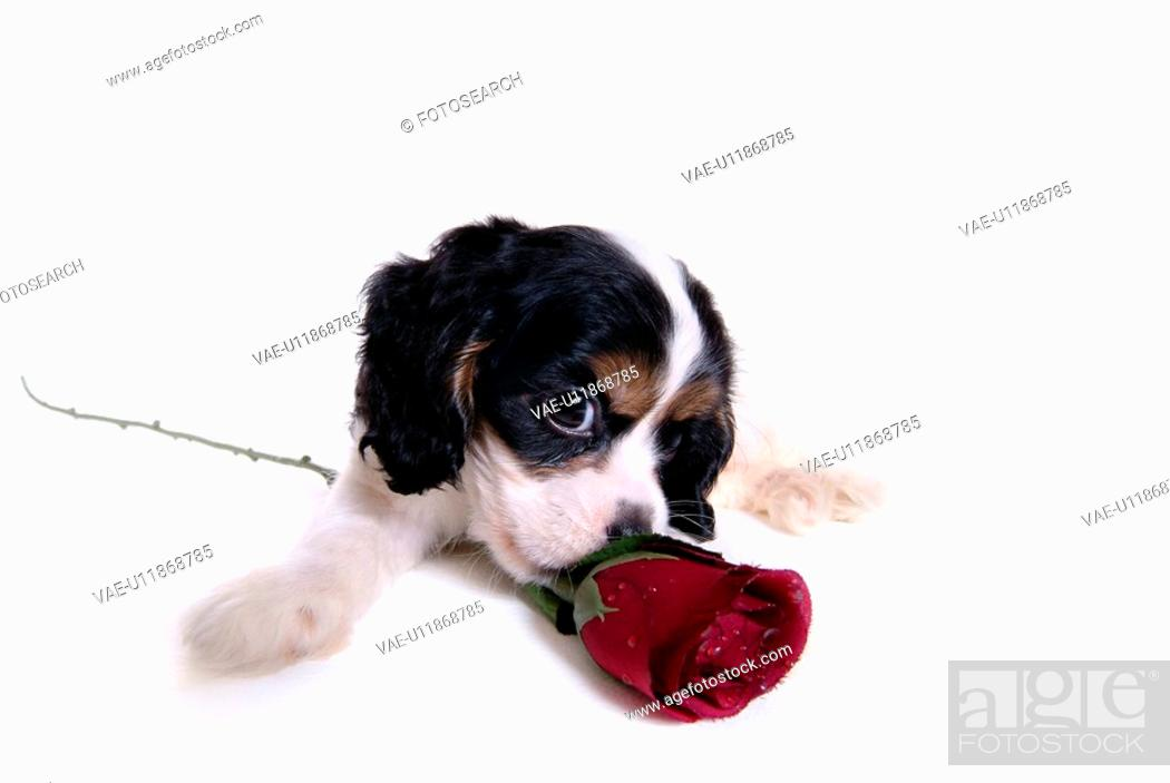 Stock Photo: lying down, american cocker spaniel, rose, spaniel, cocker spaniel, dog.