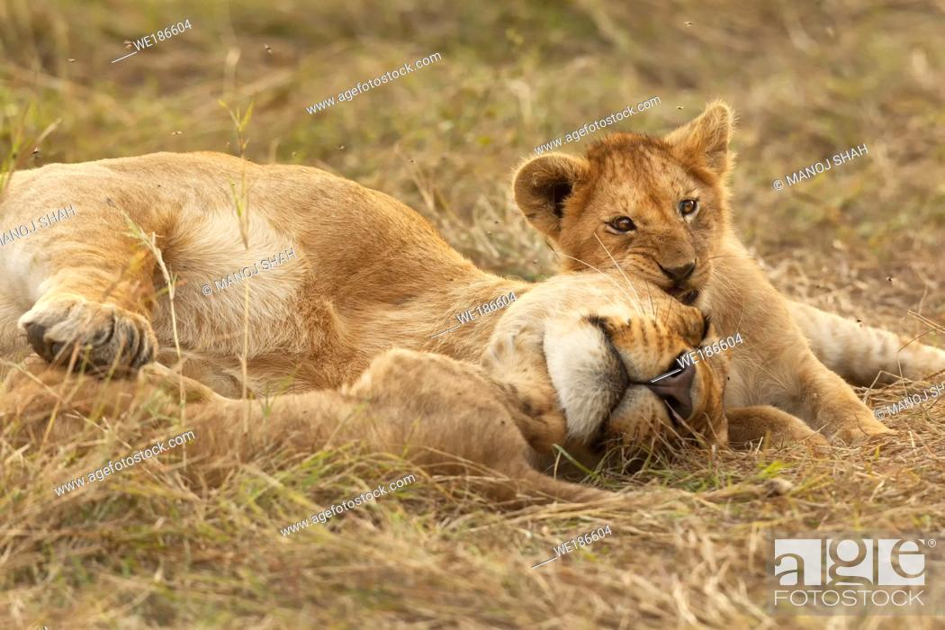 Stock Photo: Lion cub resting with sleeping mother.