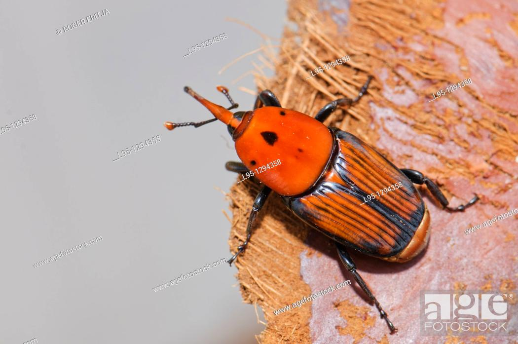 Stock Photo: Red Palm Weevil adult (Rhynchophorus ferrugineus) as found when treating an infested Canary palm tree, Spain.