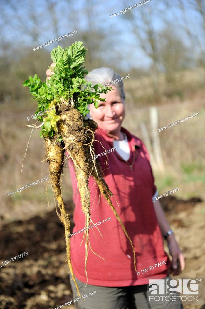 Stock Photo: Woman gardener showing a bunch of Parsnips which have just been dug up.