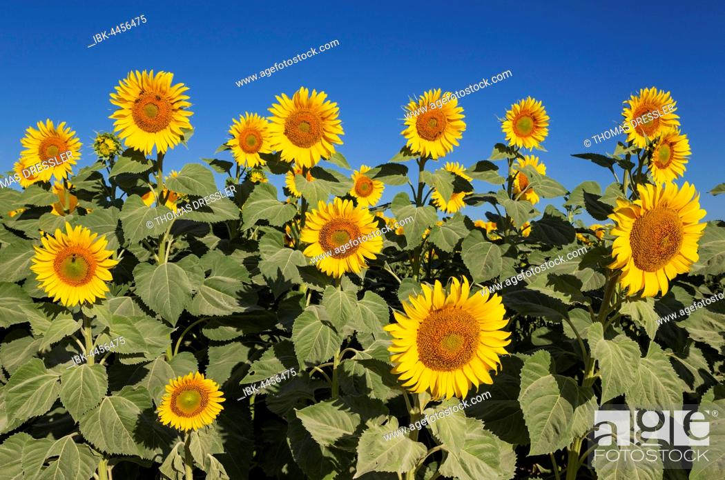 Stock Photo: Sunflowers (Helianthus annuus), field, cultivations in the Campiña Cordobesa, Cordoba province, Andalusia, Spain.