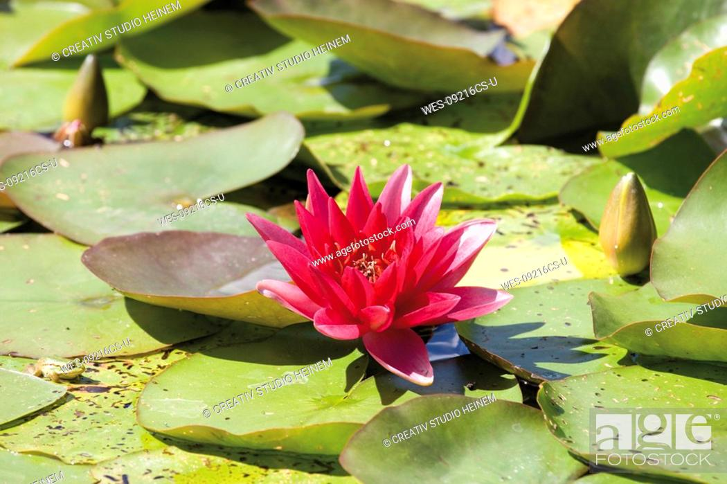 Stock Photo: Water lilies Nymphaea close-up.