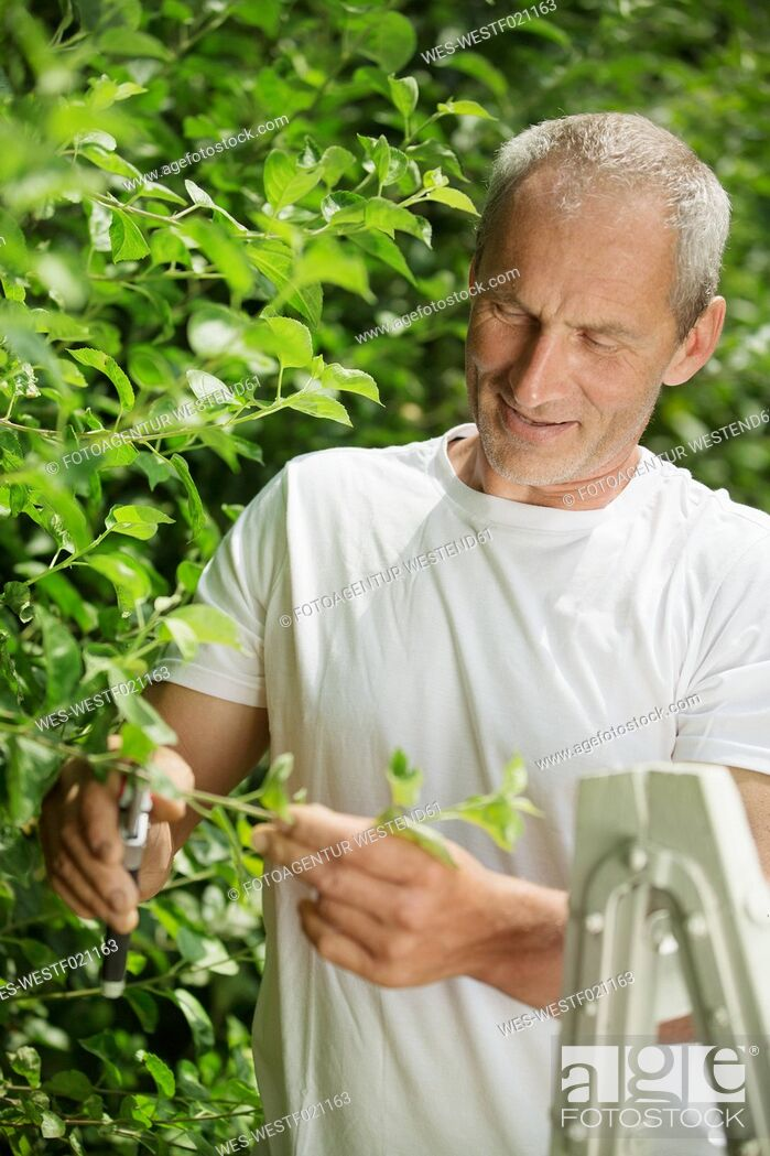 Stock Photo: Man pruning plants with gardening clipper in the garden.