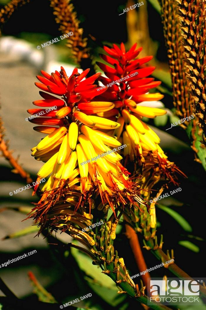 Stock Photo: Spain - Canary Islands - Flower.