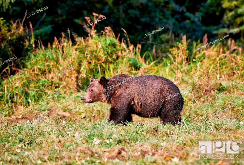 Imagen: Grizzly bear, Ursus arctos horribilis, Great Bear Rainforest, Knight Inlet, Johnstone Strait, Broughton Archipelago, British Columbia, Canada - Knight Inlet.