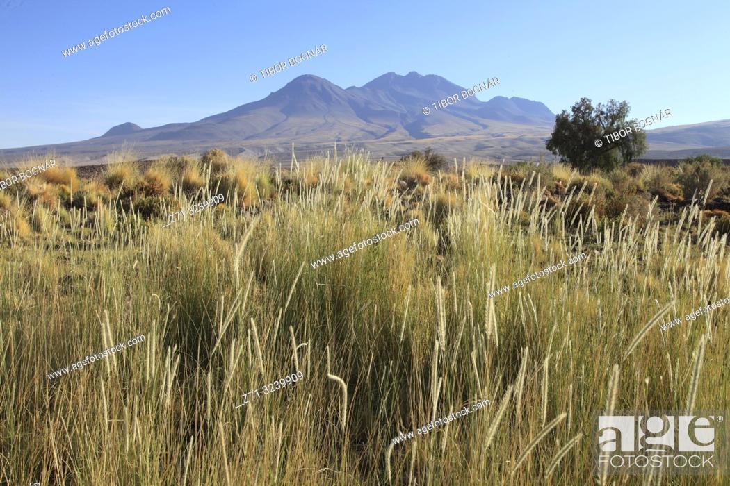 Photo de stock: Chile, Antofagasta Region, Atacama Desert, desert; flora, vegetation,.