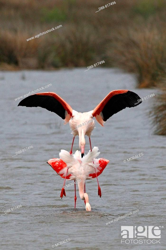 Stock Photo: Greater Flamingo (Phoenicopterus ruber) mating. Bouches-du-Rhône, France.
