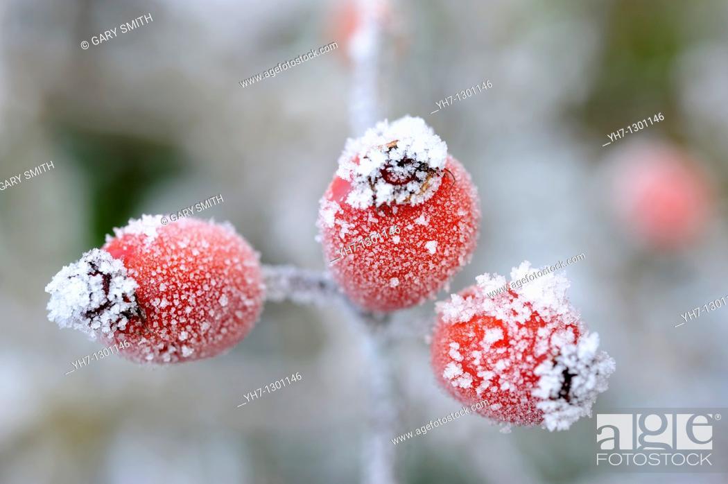 Stock Photo: Rose hips,  rosa spp  covered with rime frost, Norfolk, UK, December.