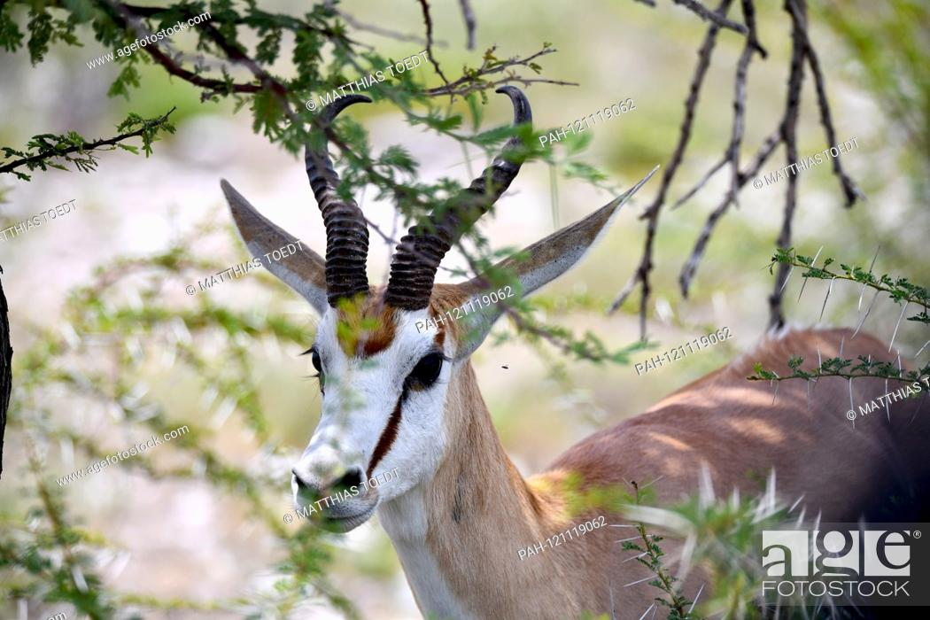Stock Photo: Springbok (Antidorcas marsupialis) in the Kaledorngebuesch in the Namibian Etosha National Park. This antelope species is distributed exclusively throughout.