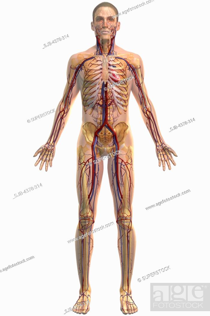 Full Body View Of The Cardiovascular System Stock Photo Picture