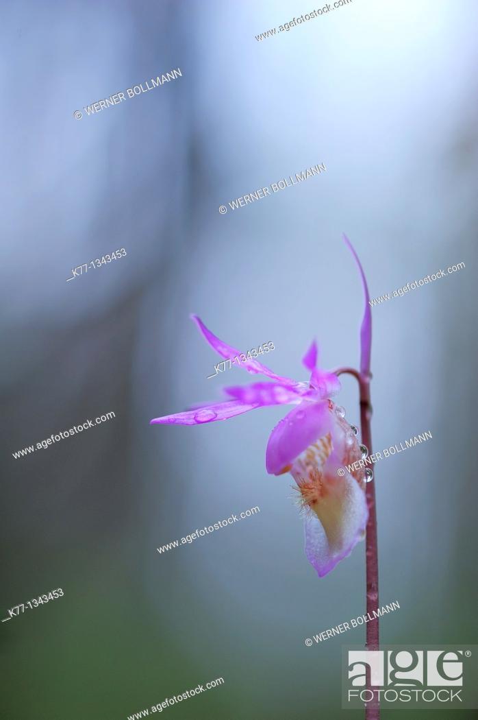 Stock Photo: Calypso Orchid (Calypso bulbosa), Oulanka National Park , Finland, June 2010.