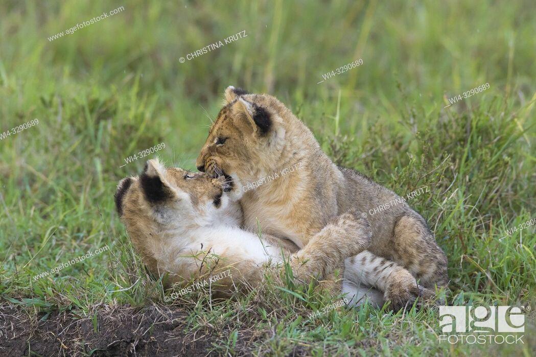 Stock Photo: African Lion (Panthera leo) cubs, Maasai Mara National Reserve, Kenya, Africa.