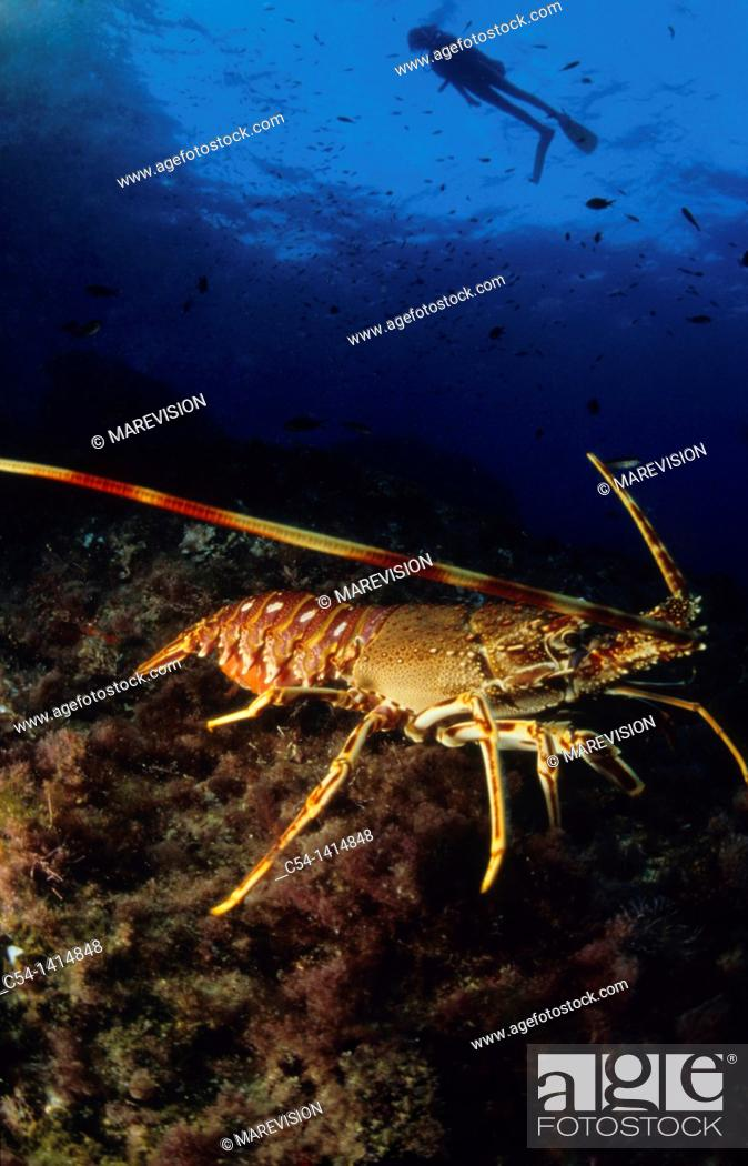 Stock Photo: Diver and Spinny Lobster (Palinurus elephas), Mediterranean Sea, Spain.