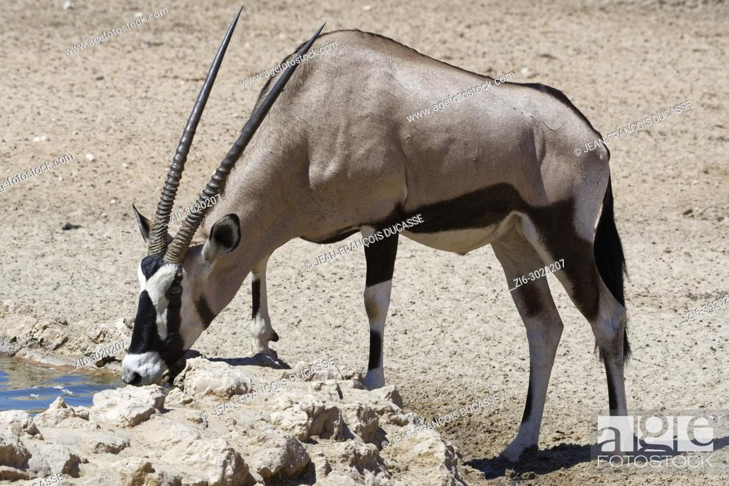 Stock Photo: Gemsbok (Oryx gazella) drinking at a waterhole, Kgalagadi Transfrontier Park, Northern Cape, South Africa, Africa.
