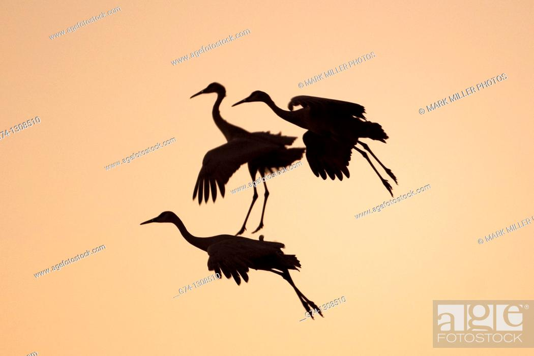 Stock Photo: Three Sandhill Cranes Landing at Sunset Rocky Mountains USA.