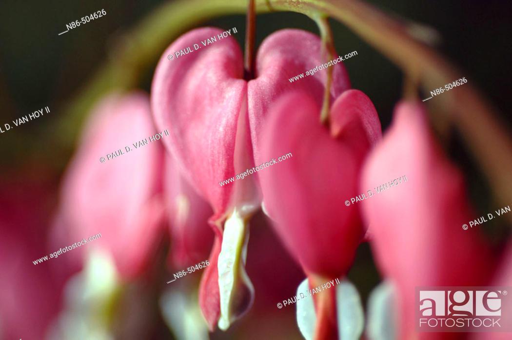 Stock Photo: Bleeding Hearts (Dicentra sp.).