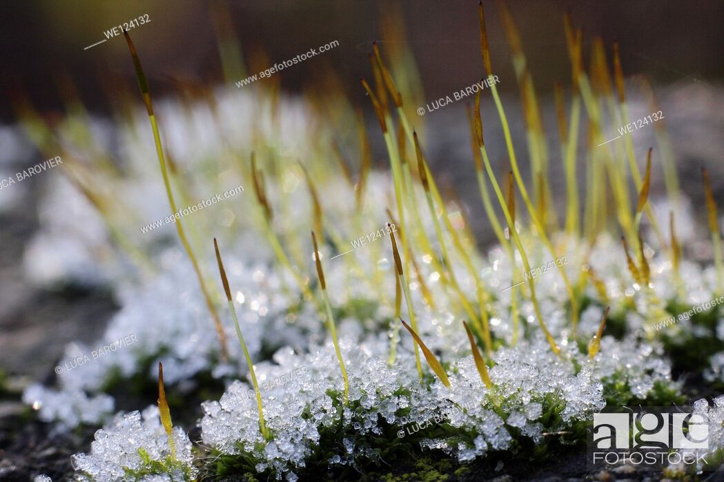 Stock Photo: Grass and snow.