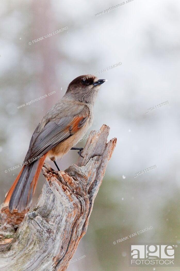 Stock Photo: Siberian Jay  Spring 2010  Near Oulanka National Park, Finland.