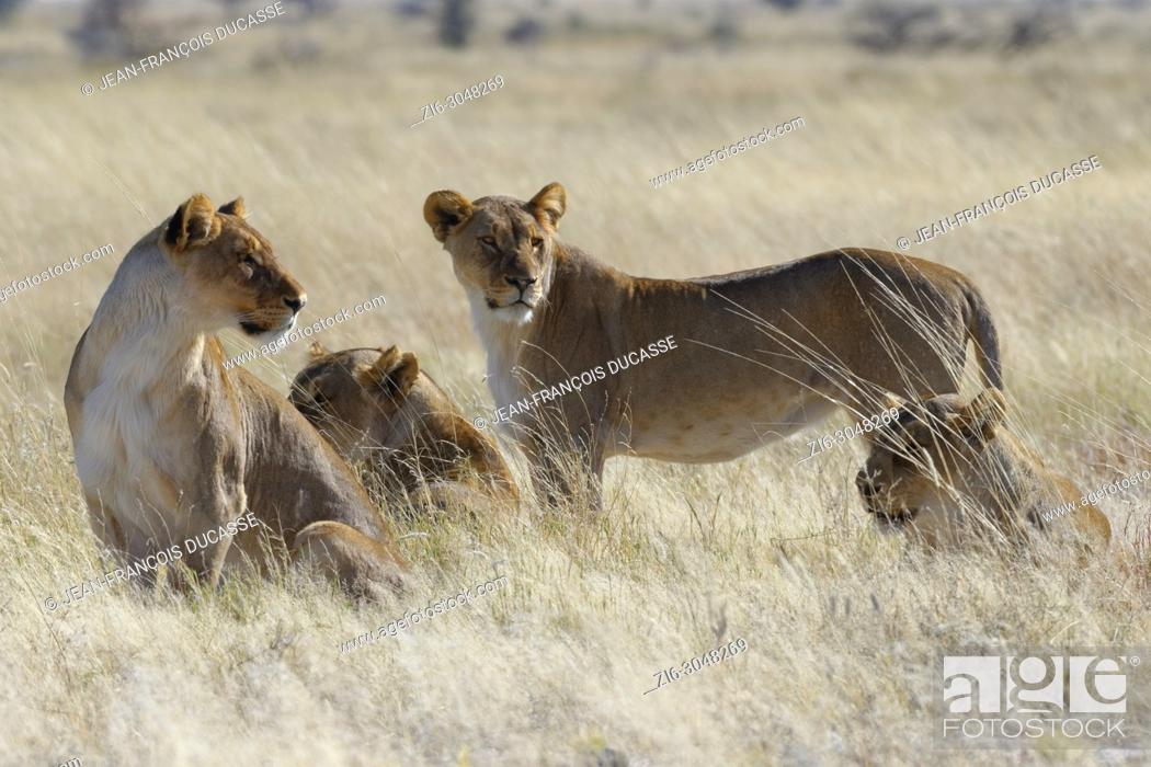 Stock Photo: Lionesses (Panthera leo) in the dry grass, looking round, alert, Etosha National Park, Namibia, Africa.