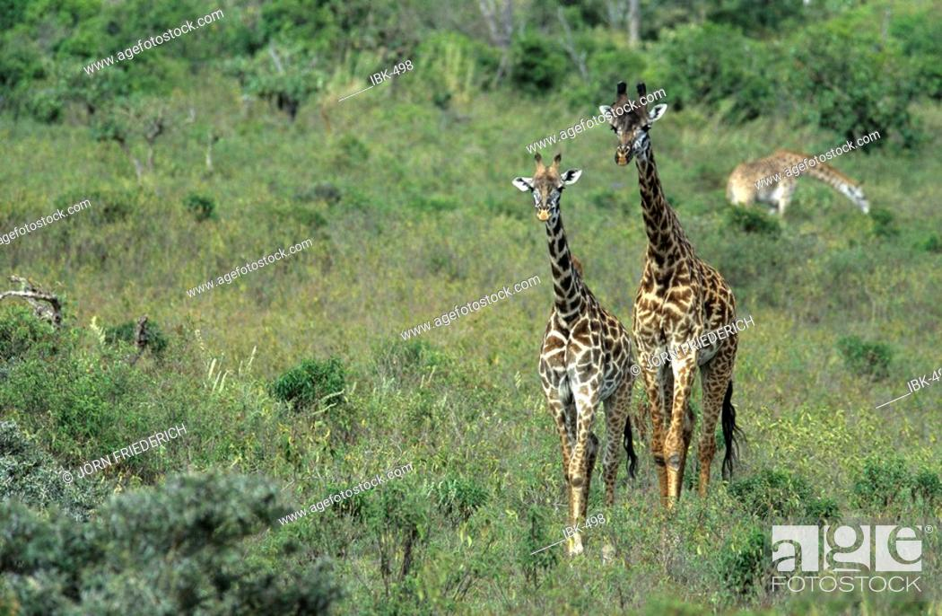 Stock Photo: Giraffes couple.