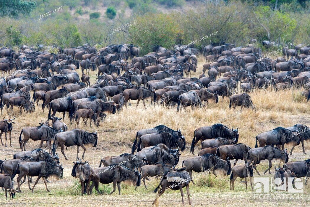 Stock Photo: Wildebeests, also called gnus or wildebai, migrating through the grasslands towards the Mara River in the Masai Mara National Reserve in Kenya.