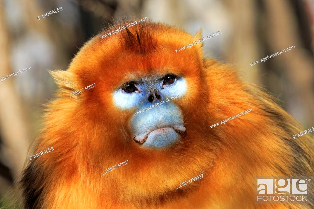 Stock Photo: Asia, China, Shaanxi province, Qinling Mountains, Golden Snub-nosed Monkey (Rhinopithecus roxellana).