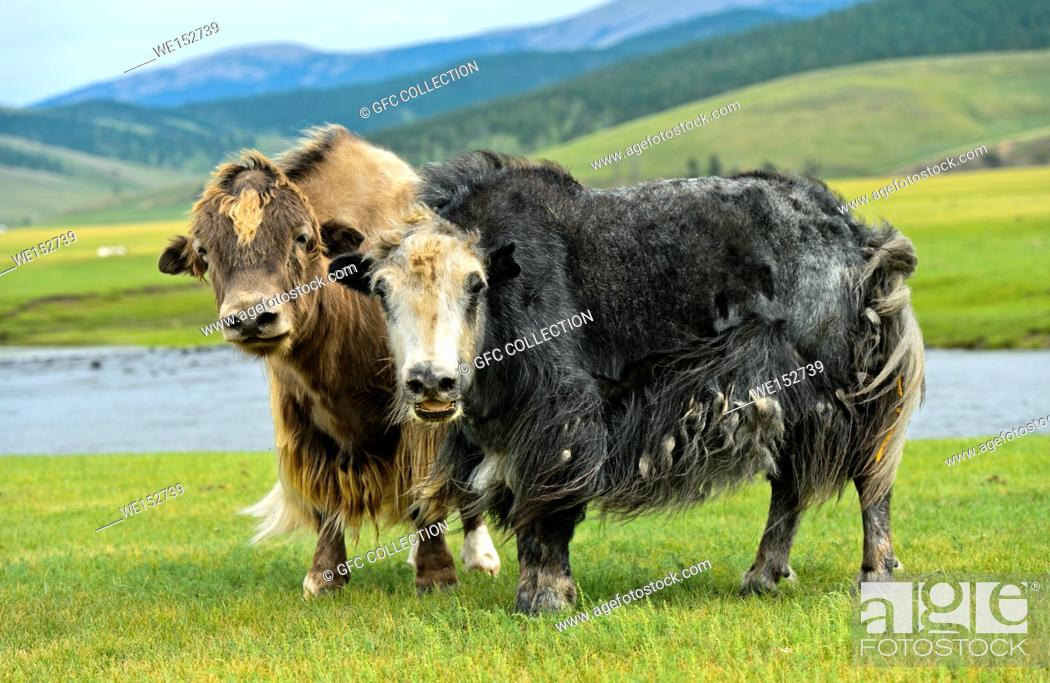 Stock Photo: Two Yaks (Bos mutus) with long shaggy hair, Orkhon Valley, Khangai Nuruu National Park, Oevoerkhangai Aimag, Mongolia.