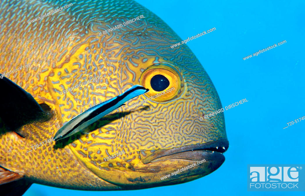 Stock Photo: Cleaner wrasse cleaning Black and white snapper, Labroides dimidiatus, Macolor macularis. Indian Ocean, Ari Atoll. Maldives Islands.