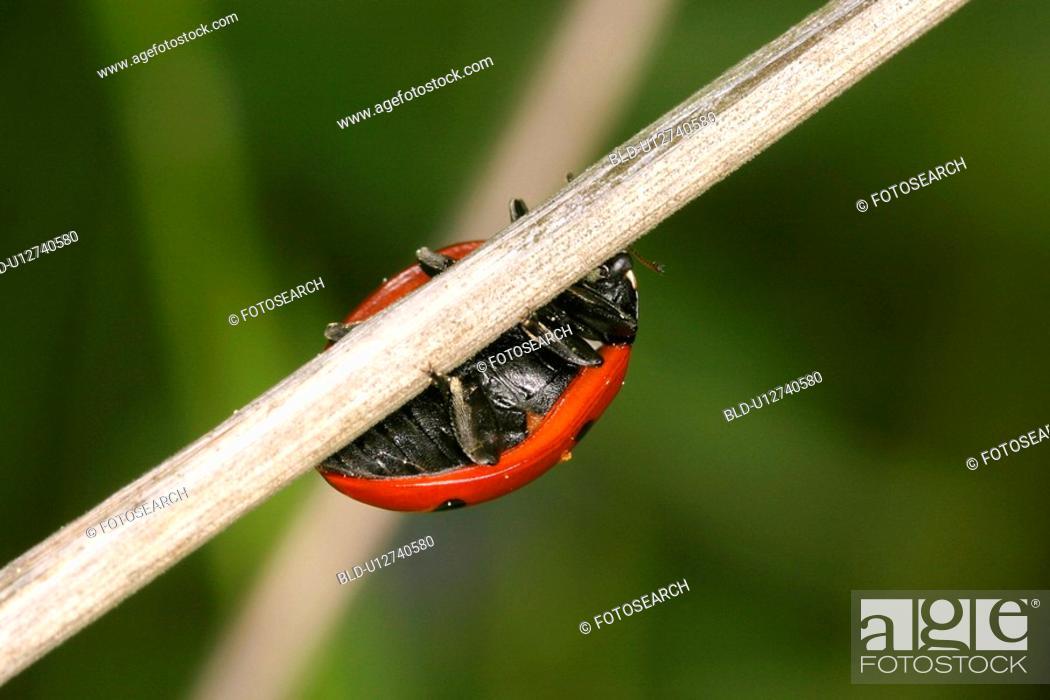 Stock Photo: day, animals, coccinella, beetle, austria, alfred.