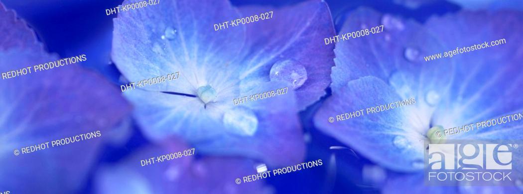 Stock Photo: Blue Hydrangia flowers with dew.