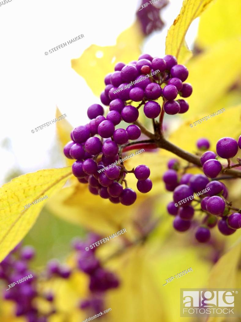 Stock Photo: Japanese beautyberry Callicarpa japonica.