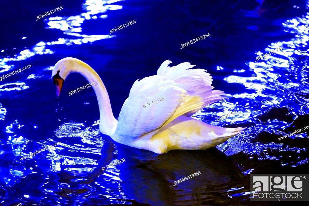 Stock Photo: mute swan (Cygnus olor), in a canal near Annecy, France, Savoie.