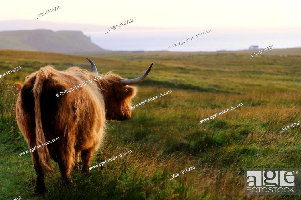 Stock Photo: Highland cow. Trotternish peninsula. Isle of Skye. Scotland. Great Britain.