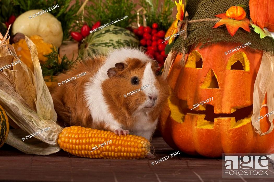 Stock Photo: Guinea pig with jack-o-lantern.