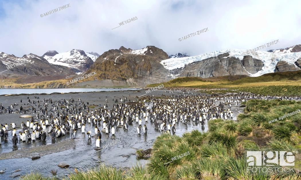 Stock Photo: King Penguin (Aptenodytes patagonicus) on the island of South Georgia, the rookery in Gold Harbour. Antarctica, Subantarctica, South Georgia.